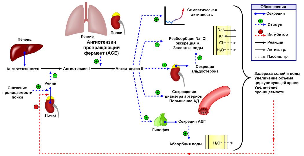 Hogyan diagnosztizálják a 2 fokú hipertóniát magas vérnyomás modern nézet