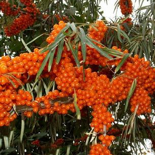 Igazi C-vitamin bomba ez a növény   Well&fit