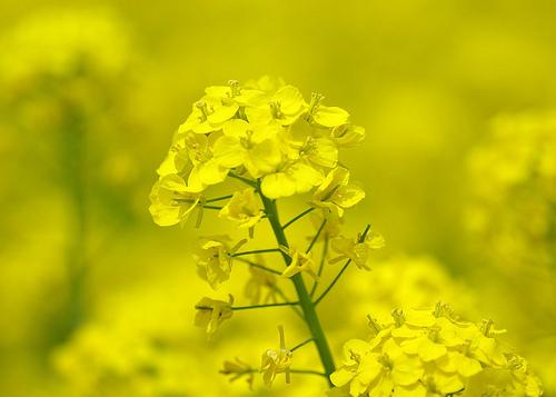 A fájdaloműző és gyógyító mustárkúra | Gyógyszer Nélkül