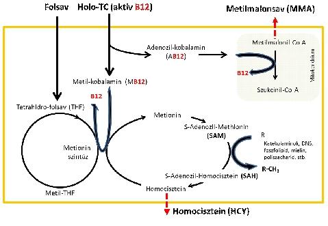folsav hipertónia