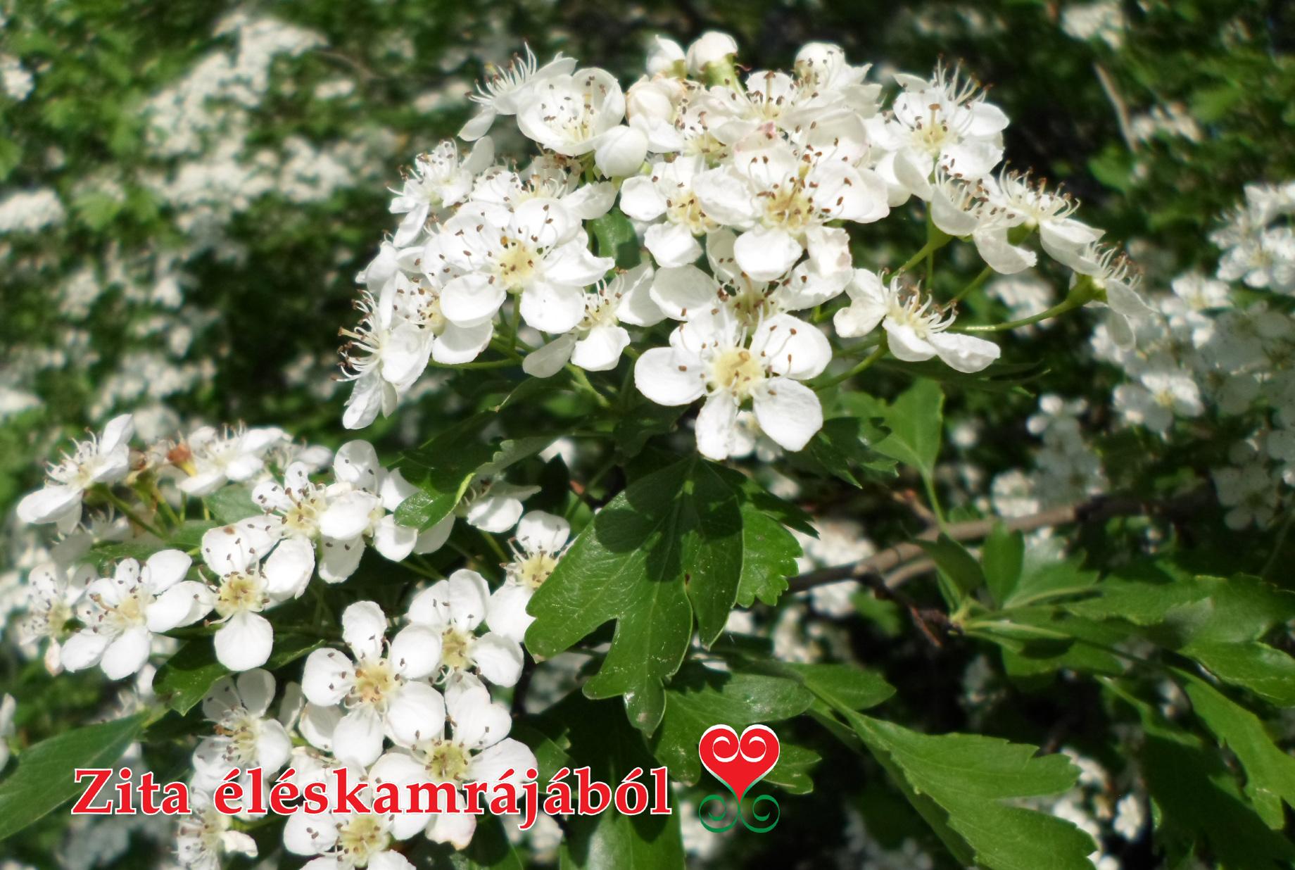 magas vérnyomás galagonya virágok